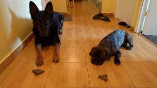 Two Dogs Trained to WAIT for Food!
