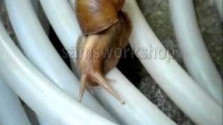 snail eating lizard