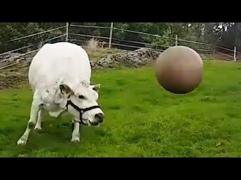 Xxx Mp4 Cow Plays With Pilates Ball 3gp Sex