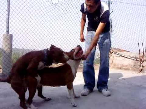 american pit bull aparemiento