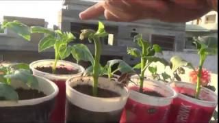 How to take dahlia cuttings II How to II grow Dahlia II easy way to propagate