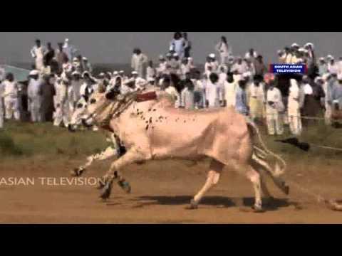 Xxx Mp4 Dangerous Bull Race In Pakistan VIDEO 3gp Sex