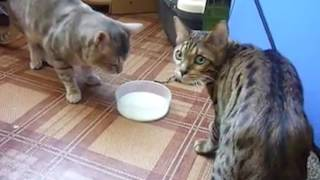 Ozzy Man Reviews: Cat Fight For Milk
