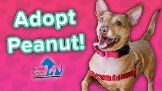 Adopt Peanut! // Chihuahua-Dachsund Mix // Adoption Featurette
