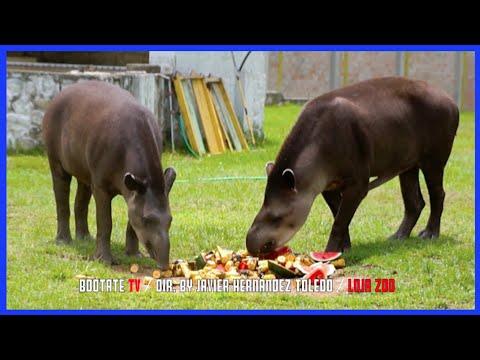 Xxx Mp4 Ecuadorian Tapir Hermosos Animales Rescatados Ecuador Ama La Vida 3gp Sex