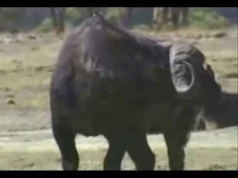 caçada de bufalo