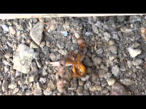BLACK WIDOW vs POTATO Bug MUSTWATCH