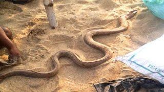 Biggest Iil Fish like a Snake in Puri Beatch Odisha - How to Remove Skin of Iil fish Real Video