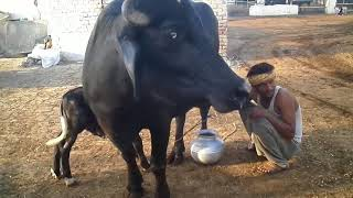 How to milk your own buffalo! 5 litter milk | real video | latest 2017 | sabir ali (buffalo videos)
