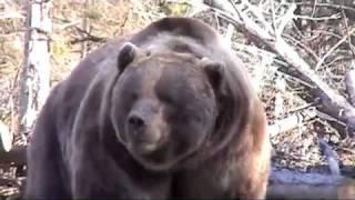 Bear Attacks Truck!