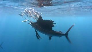 Sailfish! (HD) | JONATHAN BIRD'S BLUE WORLD