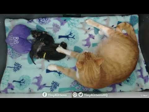 Xxx Mp4 LIVE Pregnant Feral Cat Chloe Is Giving Birth TinyKittens Com 3gp Sex