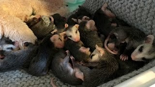 Baby Possums Rescued From Mom