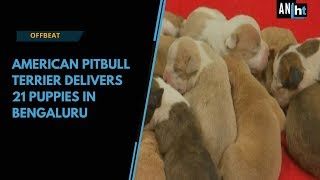 Watch: American pitbull delivers 21 puppies in Bengaluru
