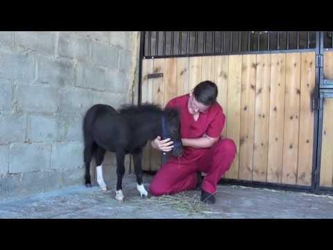 Caballo miniatura doma halter training miniature foal