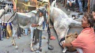 चार घंटे सड़क पर तड़पता रहा घोड़ा, जैसे ही खड़ा हुआ गले लग रोने लगा मालिक