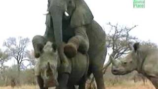 Elephant fucks a Rhino