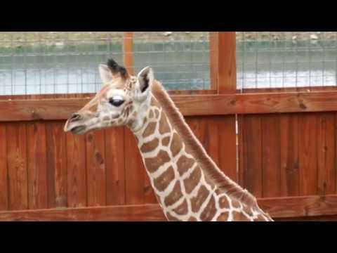 Xxx Mp4 April The Giraffe Shows Off Baby Tajiri May 15 2017 3gp Sex