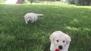 Aria & Thor: 4-20-16  Wisteria Goldens   English Cream Golden Puppies