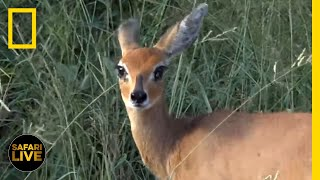 Safari Live - Day 121   National Geographic