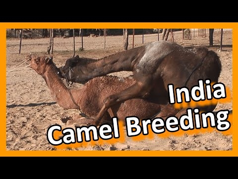 Bikaner Camel breeding farm