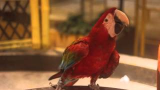 Greenwing Double Delight Macaw BD