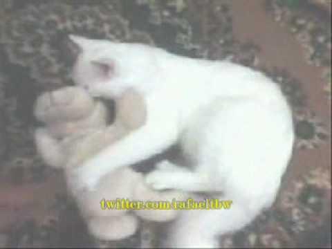 SEXO ANIMAL Gato Tarado