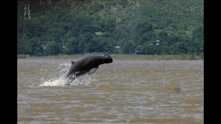 Irrawaddy Dolphins Spotted at Iconic Chilika Lake (Puri) Orissa