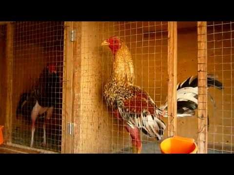 Gallos en recuperacion