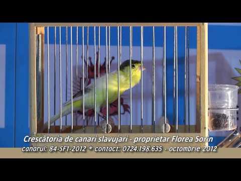 Canar Slavujar de Romania 84 SF1 2012