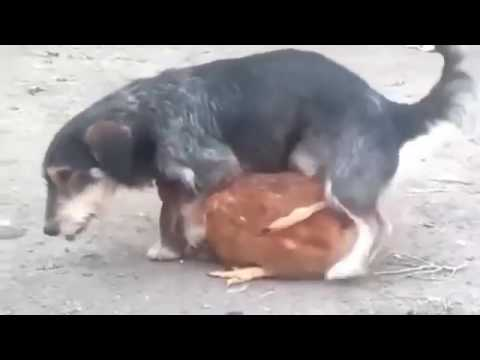 Xxx Mp4 BEST Funny Dog Mating With Other Animals Anim350 3gp Sex