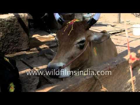 Xxx Mp4 Cows With Painted Horns Happens During Mattu Pongal Madurai 3gp Sex