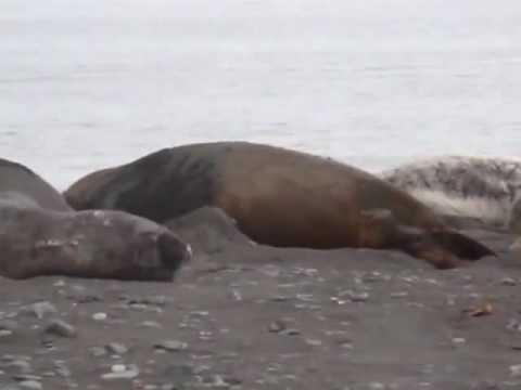 ELEPHANT FIGHTING SEAL IN ATLANTICA