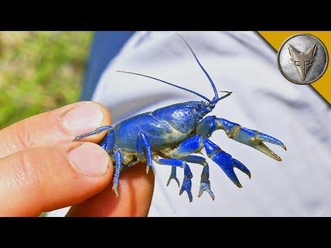 NEW SPECIES FOUND Rare Blue Crayfish