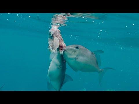 Xxx Mp4 PIRANHA S Of The Ocean Fishing In Florida Using STEAK As Bait Ft BlacktipH 3gp Sex