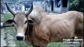 Sylheti Bisal Sher e bangla & Bnaglar Phool 2016 Gulapgonj