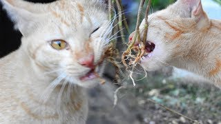 My little cute Kitten and Cats - Plant Root That My Cats eat