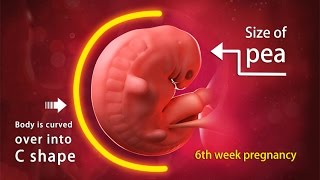 6 Weeks Pregnant: A Complete Guide on Fetal Development