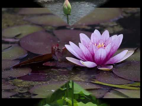 Download Music slideshow - Lotus out of water