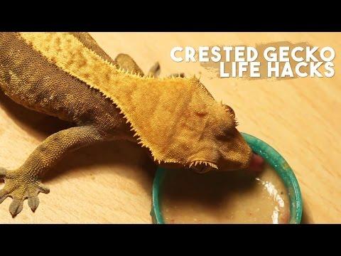 CRESTED GECKO LIFE HACKS!