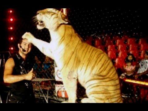Tigre mata a su domador durante una función de circo Tigres de bengala mata a su domador