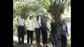 Perkebunan Kelapa Sawit 082138373443, budidaya kelapa sawit , Pabrik Kelapa Sawit
