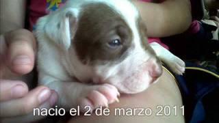 Nere american pitbull terrier crecimiento