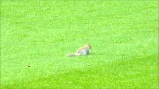 13/14 Squirrel Pitch Invasion - QPR v Leicester (Loftus Road) 21.12.2013