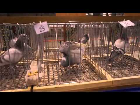 Wystawa Gołębi Sosnowiec 2013 ocena gołębi przygotowania do wystawy część 2