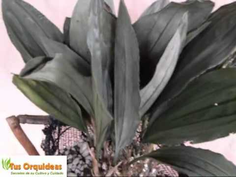 Orquideas Stanhopeas Cuidados para que florezcan en tu coleccion personal