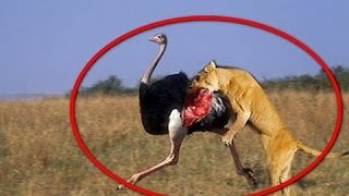 Leopard and ostrich real fight - lion vs ostrich - Animal Attack 2016
