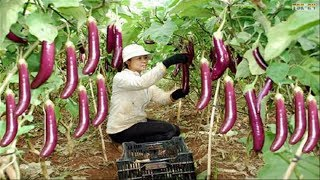 WOW! Amazing Agriculture Technology - Eggplant