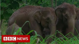 Leuser : Will Sumatra's elephants go extinct? - BBC News