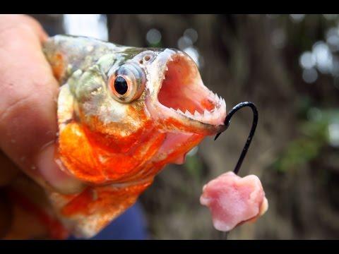 Xxx Mp4 Fishing For Piranhas In The Amazon River In Peru 3gp Sex